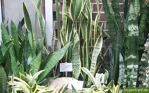 http://sansevieria.eu/wp-content/uploads/2007/08/sansevieria-cultivars.jpg