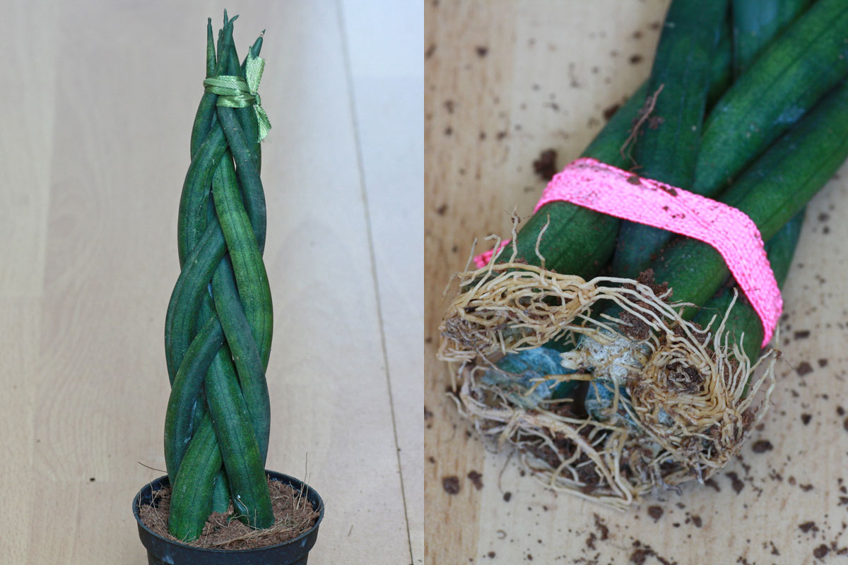 Sansevieria braided