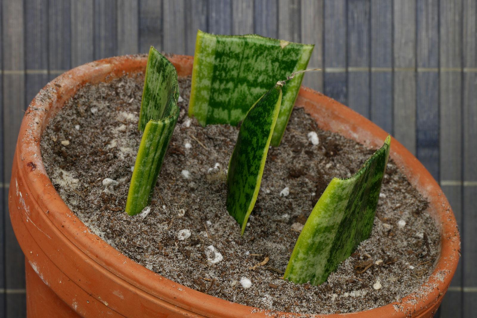 Sansevieria Blattstecklinge einpflanzen