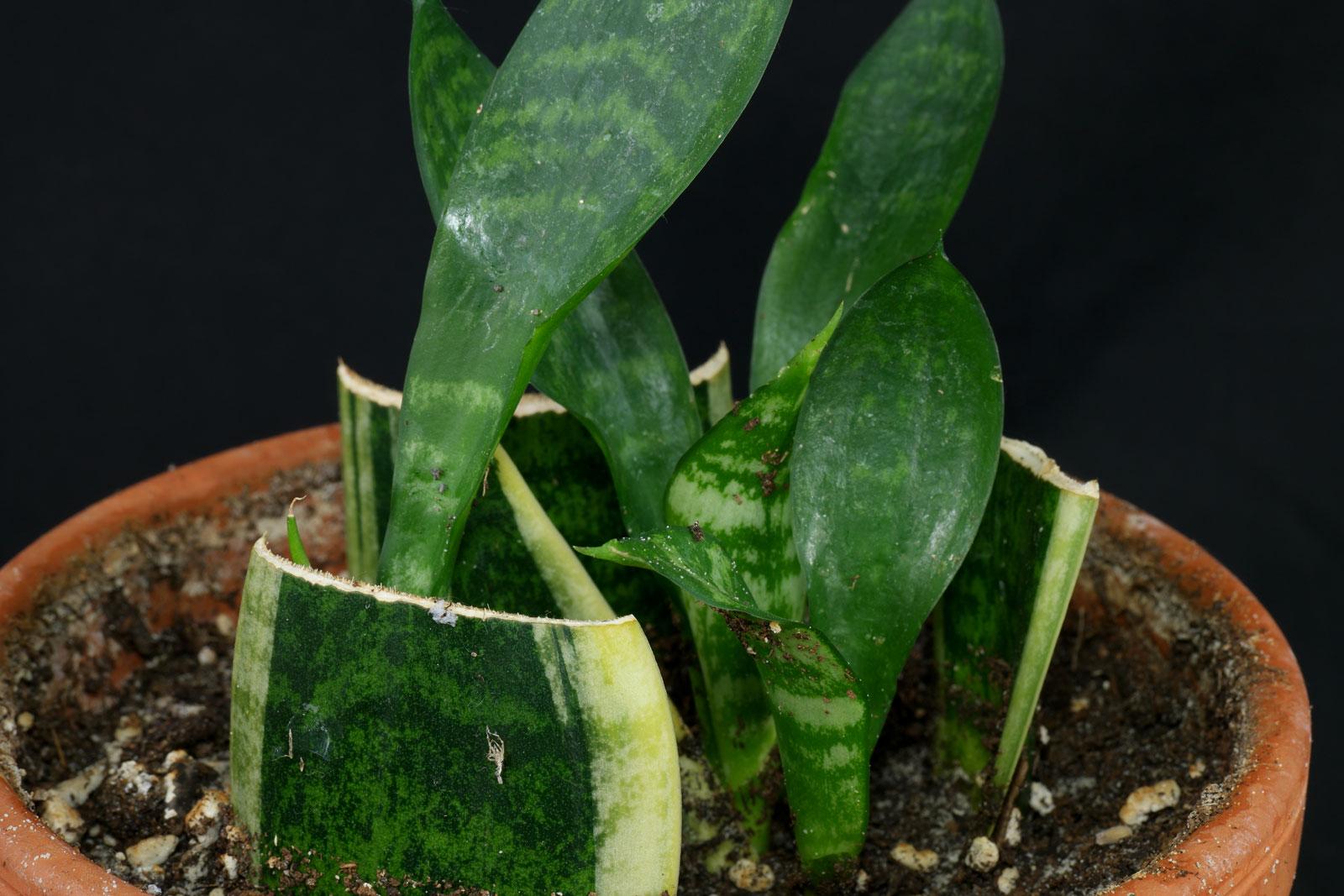 Sansevieria trifasciata Blattstecklinge