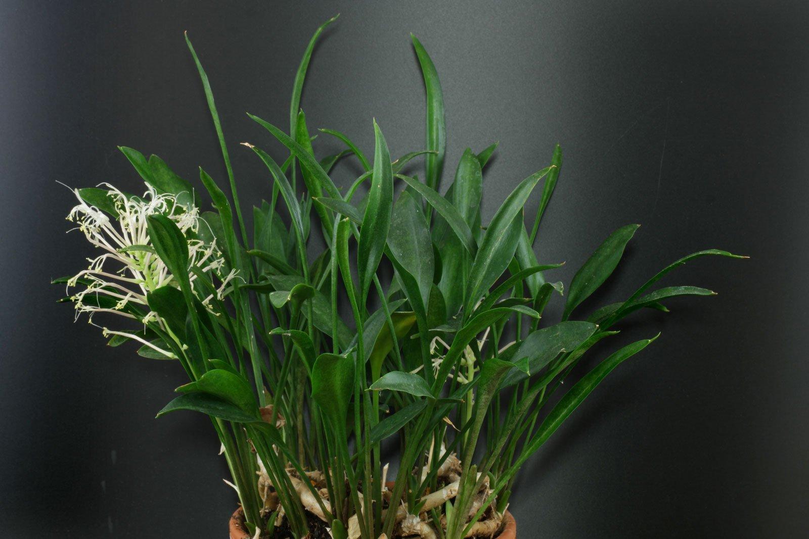 Sansevieria concinna